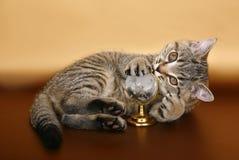 Britisches Kätzchen mit einem Spielzeug Lizenzfreies Stockfoto