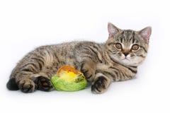 Britisches Kätzchen mit einem Spielzeug Lizenzfreie Stockbilder