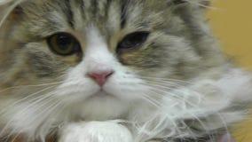 Britisches Kätzchen mit Hängeohren stock video