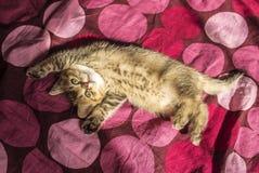 Britisches Kätzchenchinchillagoldenes getickt gedeiht in den Strahlen O üppig stockfoto