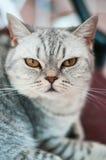 Britisches Katzelügen Lizenzfreies Stockfoto
