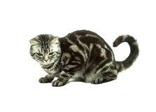 Britisches Katzespielen Lizenzfreies Stockfoto