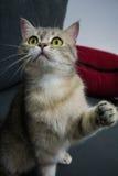 Britisches Katzespielen Lizenzfreie Stockfotos