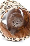 Britisches Kätzchen, das im Tunnel getrennt spielt Stockbild