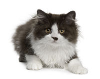 Britisches langhaariges Kätzchen, 3 Monate alte, liegend Lizenzfreies Stockfoto