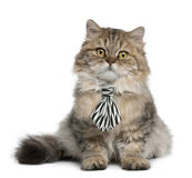 Britisches langhaariges Kätzchen, das ein Gleichheitsitzen trägt Stockbild