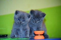 britisches lokalisierte Kätzchen der Katze inländisches flaumiges Grau stockbild