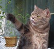 Britisches marmoreal Katzespielen Stockbilder