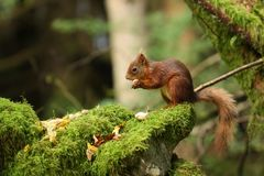 Britisches rotes Eichhörnchen stockfotografie
