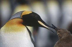 BRITISCHES Süd-Fütterungsküken Georgia Island King Penguins nahes hohes Stockfotografie