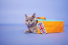 Britisches Shorthair Kätzchen Lizenzfreie Stockfotos