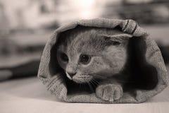 Britisches Shorthair Kätzchen Stockfotografie