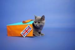 Britisches Shorthair Kätzchen Lizenzfreies Stockfoto
