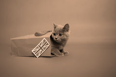 Britisches Shorthair Kätzchen Stockbild