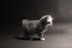 Britisches Shorthair Kätzchen lizenzfreie stockfotografie