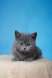 Britisches Shorthair Kätzchen Stockfotos