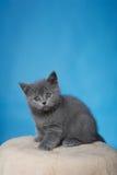 Britisches Shorthair Kätzchen Stockfoto