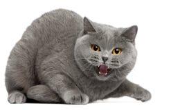 Britisches Shorthair Kätzchen, das, 2 Jahre alt zischt Stockfotos