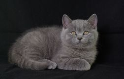 Britisches Shorthair.Kitten. Lizenzfreies Stockbild
