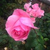 Britisches Sommer-Rosa Rose mit Regen Lizenzfreie Stockfotografie