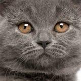 british закрывают shorthair котенка вверх Стоковое Фото