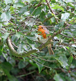 British adult robin bird hiding in tree Royalty Free Stock Photo