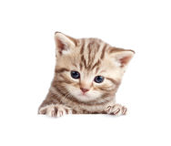 British baby kitten behind banner. Scottish british baby kitten behind banner on white Royalty Free Stock Photo