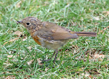 British baby robin bird. Photo of a british baby robin bird with a grub insect in its beak ready for lunch Stock Image