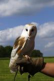 British Barn Owl stock image