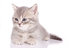 British beautiful kitten Royalty Free Stock Images