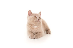 British beautiful small kitten lying Royalty Free Stock Photo