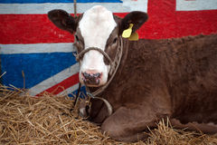 British Beef Cattle Stock Image