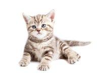 British behandla som ett barn att ligga för katt eller för kattunge Arkivfoto