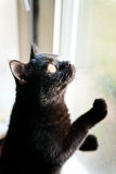 British black cat looking out Royalty Free Stock Photo