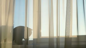 British black cat is playing with a toy. On the windowsill behind the transparent curtains stock footage