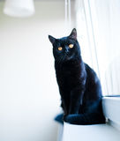 British black cat Stock Images