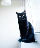 British black cat Stock Images