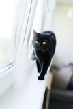 British black cat stand on windowsill Royalty Free Stock Photography