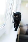 British black cat stand on windowsill Royalty Free Stock Photography