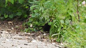 British blackbird foraging in undergrowth for nesting material food. Video of a british blackbird foraging around for nesting material and food during may 2019 stock footage