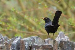 British blackbird Royalty Free Stock Images