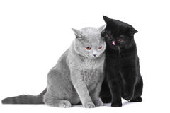 British blue and Black Persian cats Royalty Free Stock Image