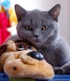 British Blue Cat Stock Images