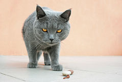British blue cat Royalty Free Stock Photo