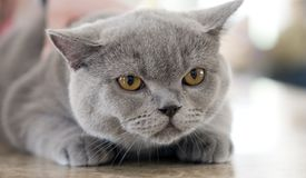 British blue cat. Pedigree British blue cat at show Stock Image