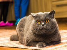 British blue cat with big orange eyes is lying on the carpet and looking to camera. stock photos