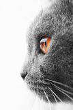 British blue cat detail Royalty Free Stock Image