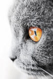 British blue cat detail Stock Images