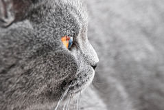 British blue cat detail Stock Photo