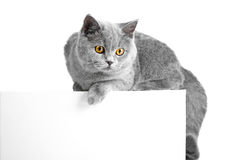British blue cat easy lying on tablet Stock Image
